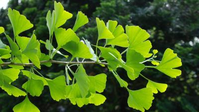 A branch of a ginkgo tree with bright green leaves in the sunlight 16x9